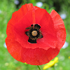 actionreaction: photo of a single red poppy flower, up close ([symbols] poppy)