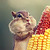 flirterers: ❥ chaicons ({squirrel} noms)