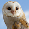 wildmage_daine: (barn owl perch)