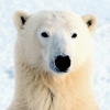 wildmage_daine: (polar bear calm)
