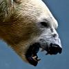 wildmage_daine: (polar bear snarl)