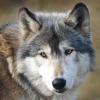 wildmage_daine: (wolf calm)