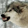 wildmage_daine: (wolf snarl)
