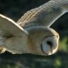 wildmage_daine: (barn owl glide)