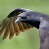 wildmage_daine: (crow flight)