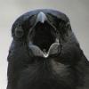 wildmage_daine: (crow caw)