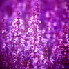 porphyra: (flowers)