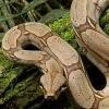 wildmage_daine: (snake constrictor)