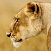 wildmage_daine: (lion calm)