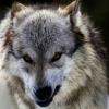 wildmage_daine: (wolf annoyed snarl)