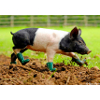 nanaya: A pig wearing tiny wellingtons (cute)