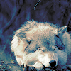 queenlua: A wolf resting. (Wolf: Resting)