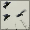 klgaffney: (starlings I.)