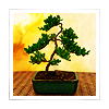 epona34: (bonsai)