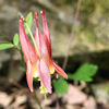 thothmes: A close-up of a wild columbine flower photographed on my daily walk (Faerie Flower 2)