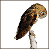 chianagirl: photograph of brown and white owl with head bowed (blodeuwedd)
