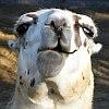 frith: (llama LOL)