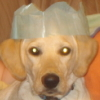 marty_gras: This is my dog wearing a crown from a christmas cracker. (Boomer, dog, Puppy)