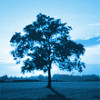 cedarmyna: blue-tinted photo of a tree (tree)