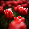 fulminata: (flower - tulip)