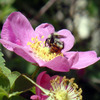 silverflight8: bee on rose  (Bee) (Default)