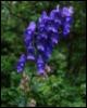 aconite26: (aconite blue)