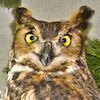 firecat: photo of owl looking outraged (outraged owl)