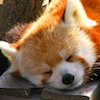 firecat: red panda sleeping (red panda sleeping)