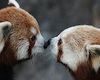 firecat: two red pandas touching noses (red panda nose touch)