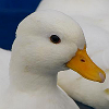 spiral_brow: (duck 1 - duck head)