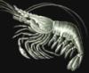 sporangia: (Shrimp)