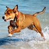 samvara: Medium red dog running in water (Kiba wet!)