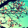anaraine: A slightly washed-out crop of sunlight shining through the branches of a cherry tree. ([flora] cherry tree)