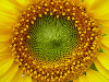 nightdog_barks: (Sunflower)