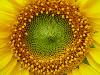 nightdog_barks: (Sunflower)
