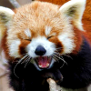 mythicgeek: ([cuteness] red panda yawning)