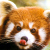 mythicgeek: ([cuteness] red panda licking its nose)