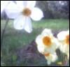 trayellis: daffodils (daffodils)