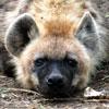 masterofgunfu: (hyena-sad)