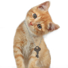hagar_972: Ginger cat with a key around his neck tilting his head (Cat With Key)