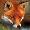 foxes_and_fireflies: (Red fox) (Default)