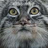 cleolinda: (pallas cat - *catface*)