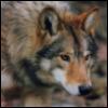 tala_wolf: (Wolf)