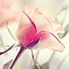 nyxelestia: Rose Icon (Gentle Rose) (Default)