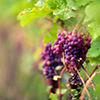 la_samtyr: grapes to be harvested (Dorwinion grapes)