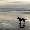 bluespirit: (Buddy at Saunton)