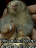 "valholl: A baby sloth is cradled, underneath the caption reads: ""this animal sleeps its whole life away"". (sleeping sloth) (Default)"