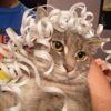 artemis_prime: grey cat with ribbon on her head (artemis ribbon)