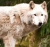 dionysius: (wolf)