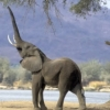 dionysius: (elephant)